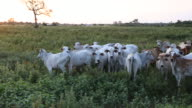 Zoom out of a cattle herd on a meadow of a farm at sunset the cattle is looking curious to the photographer