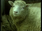 Zoom out on Dolly the cloned sheep in a pen 27 Feb 97