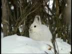 MCU zooming in snowshoe hare, Arctic circle