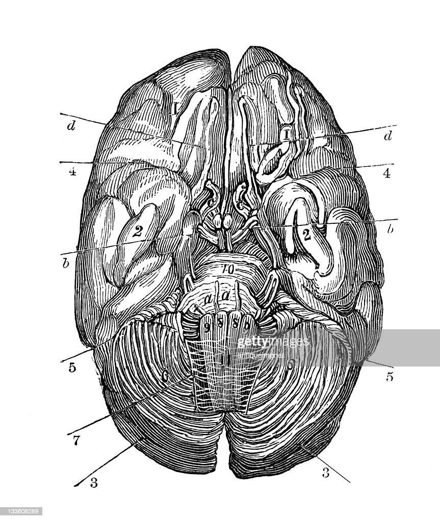 19 Jahrhundert Anatomie Des Menschlichen Gehirngravur Stock ...