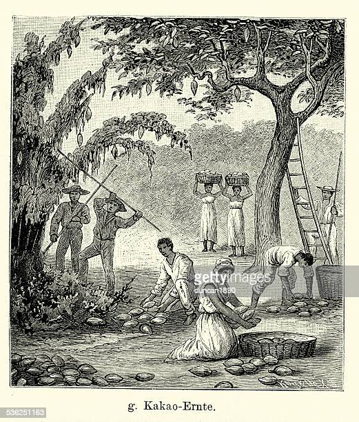 19th Century Cocoa harvest in South America