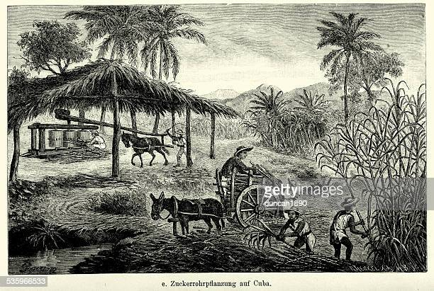19th century cuba - sugar cane plantation - cuban culture stock illustrations, clip art, cartoons, & icons