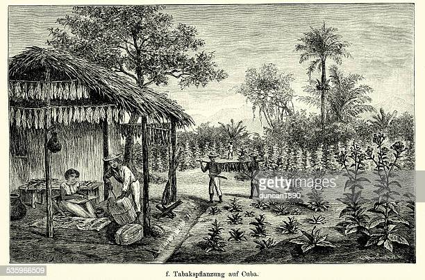 19th century cuba - tobacco plantation - cuban culture stock illustrations, clip art, cartoons, & icons