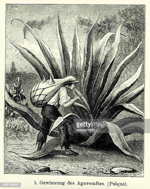 19th century mexico - harvesting agave juice - tequila drink stock illustrations, clip art, cartoons, & icons