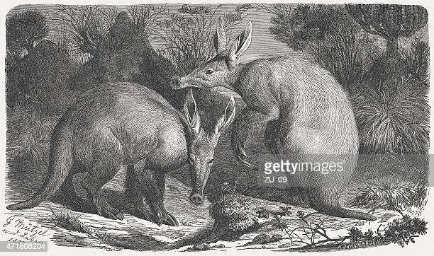 tamandua (orycteropus afer), pass für den  1873 - tamandua ameisenbär stock-grafiken, -clipart, -cartoons und -symbole