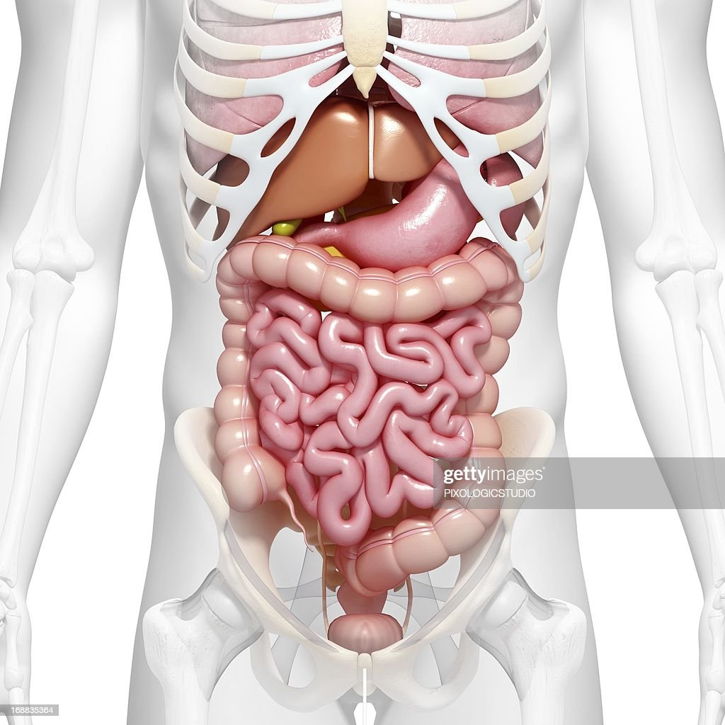 Abdominal Anatomy Artwork Stock Illustration | Getty Images