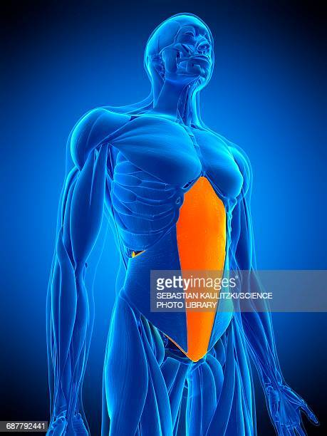 abdominal muscle, illustration - abdominal muscle stock illustrations, clip art, cartoons, & icons