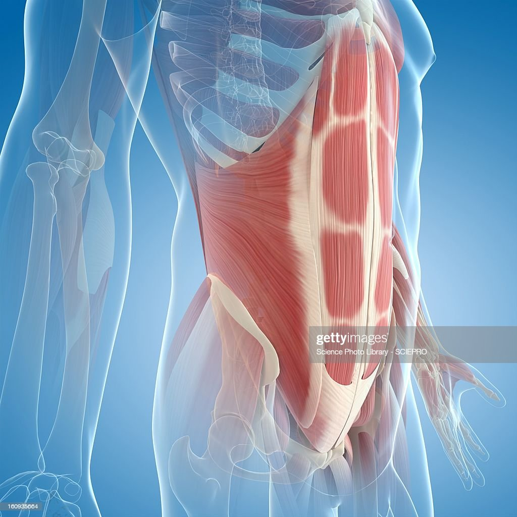 Abdominal muscles, artwork : Stock Illustration