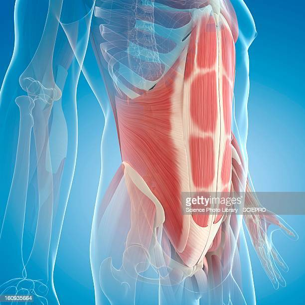 abdominal muscles, artwork - physiology stock illustrations