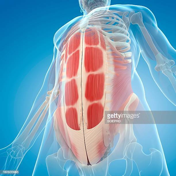 abdominal muscles, artwork - abdominal muscle stock illustrations, clip art, cartoons, & icons