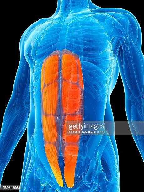 abdominal muscles, illustration - abdominal muscle stock illustrations, clip art, cartoons, & icons