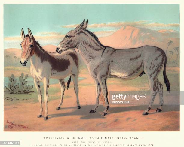 Abyssinian Wild Ass and Indian Onager