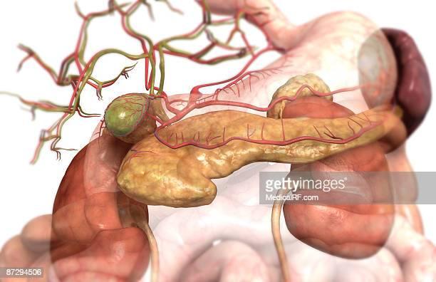 accessory digestive organs - human pancreas stock illustrations, clip art, cartoons, & icons