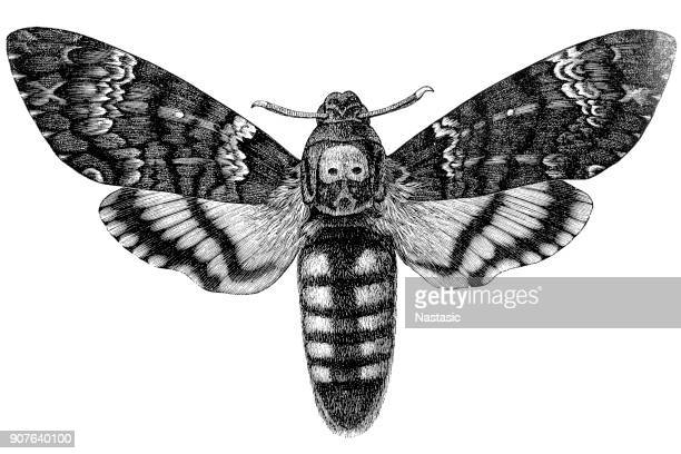 acherontia atropos (african death's head hawkmoth) - terminal illness stock illustrations, clip art, cartoons, & icons