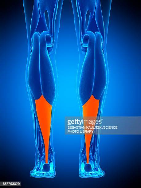 achilles tendon, illustration - achilles tendon stock illustrations