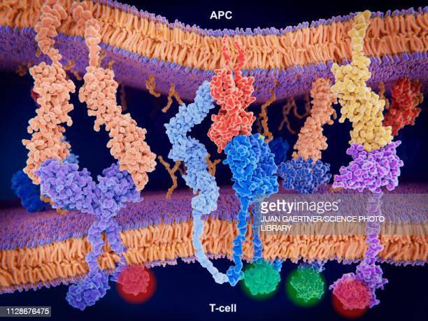 activation of t-cell immune response, illustration - antigen stock illustrations