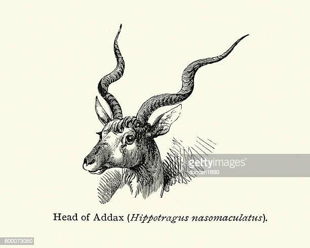 Addax or white antelope