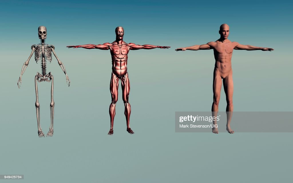 Adult Male Human Anatomy Stock Illustration | Getty Images