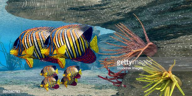 adult royal angelfish parents guarding their young. - ranunculus stock illustrations, clip art, cartoons, & icons