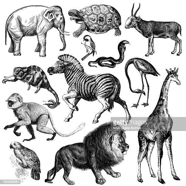 Africa Wildlife Fauna Illustrations | Vintage Animal Clipart