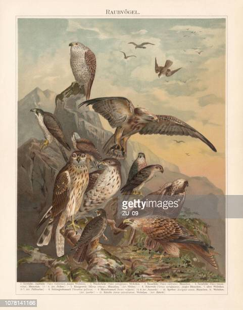 african, asian, and european birds of prey, lithograph, published 1897 - peregrine falcon stock illustrations, clip art, cartoons, & icons