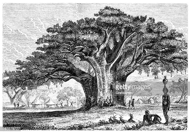 World's Best Baobab Tree Stock Illustrations - Getty Images