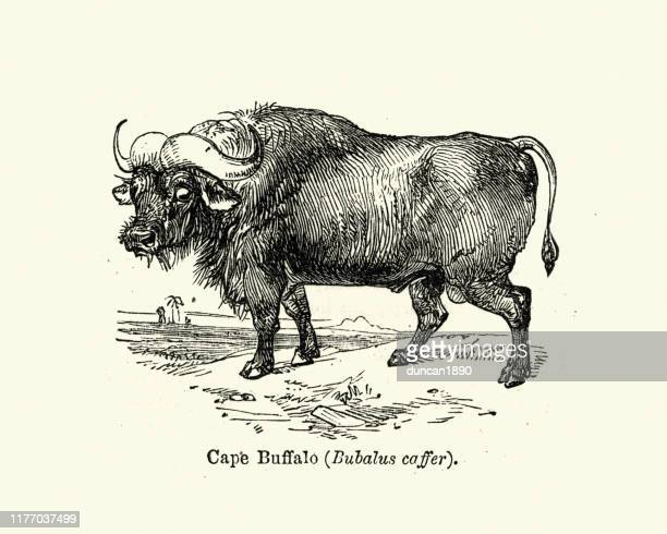 african buffalo or cape buffalo is a large sub-saharan african bovine - african buffalo stock illustrations, clip art, cartoons, & icons