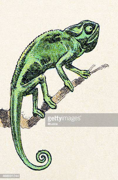 african chameleon, reptiles animals antique illustration - chameleon stock illustrations, clip art, cartoons, & icons
