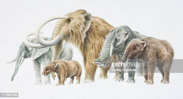 african elephant, back, extreme left, moenitherium, woolly mammoth, platybelodon and trilophodon. - mammal stock illustrations, clip art, cartoons, & icons