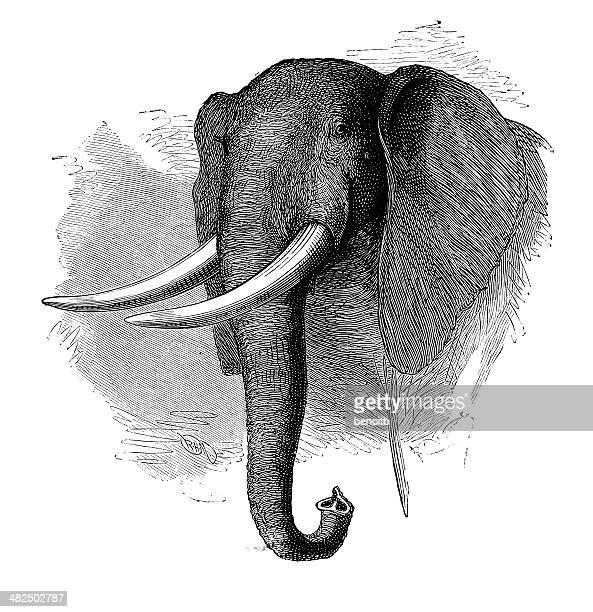 60 Top African Elephant Stock Illustrations, Clip art ...