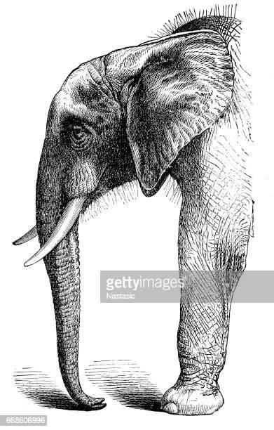 ilustraciones, imágenes clip art, dibujos animados e iconos de stock de elefante africano - elefante