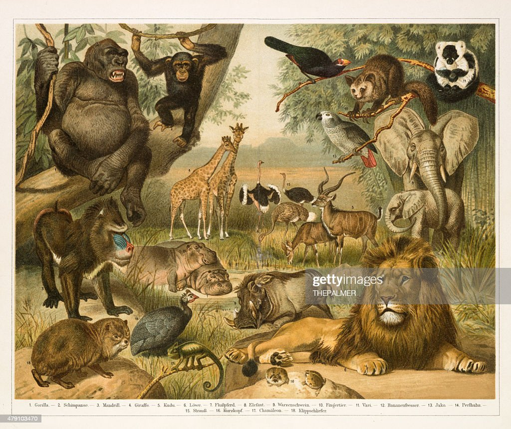African fauna lithograph 1896 : stock illustration