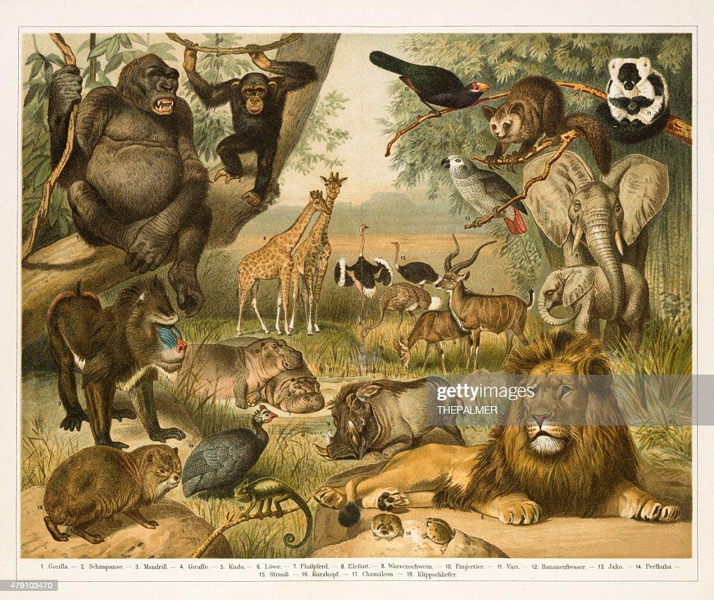 African fauna lithograph 1896 : Ilustración de stock