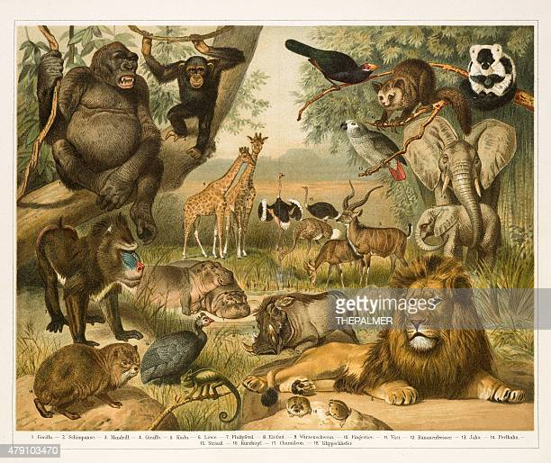 african fauna lithograph 1896 - lithograph stock illustrations