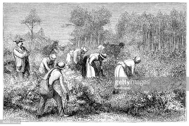 African slaves harvesting cotton 1868