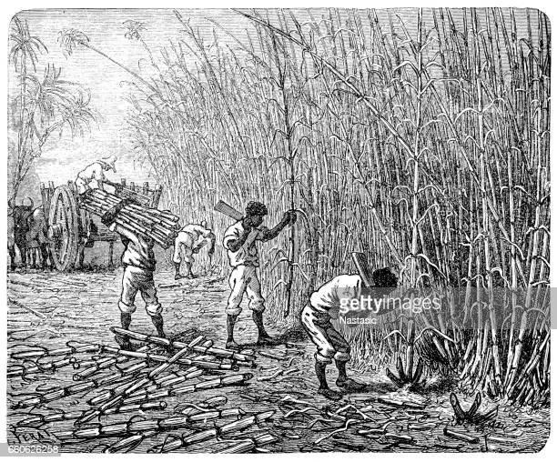 african slaves processing sugar cane - sugar cane stock illustrations