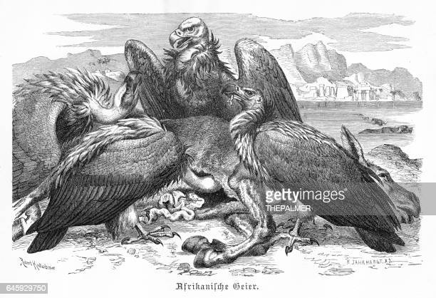 African Vultures engraving 1892