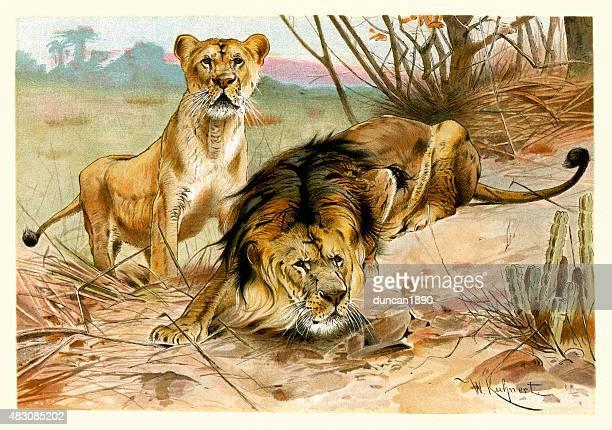 ilustrações, clipart, desenhos animados e ícones de vida selvagem africana-leão e leoa - animal mane