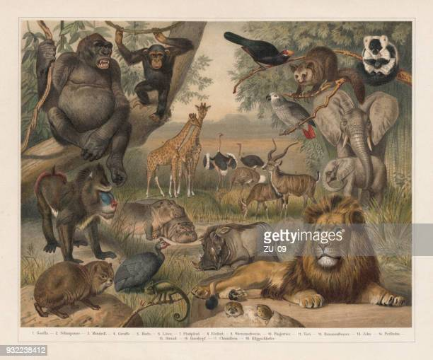 african wildlife, lithograph, published in 1897 - mammal stock illustrations