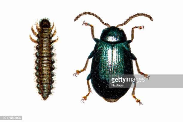 Agelastica alni, the alder leaf beetle