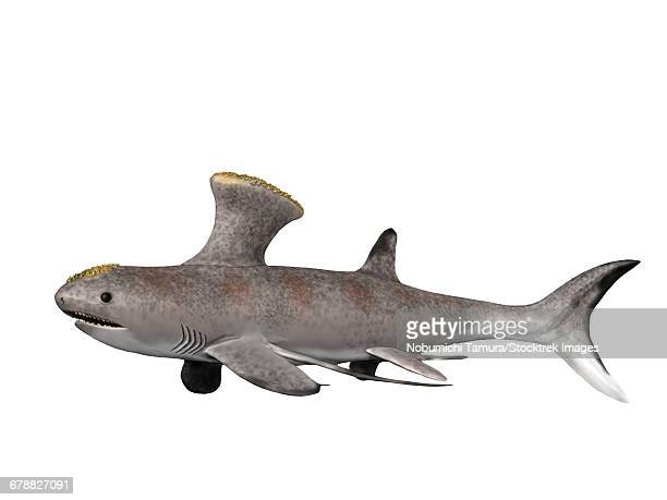 Akmonistion zangerli is an extinct shark from the Early Carboniferous period of Scotland.