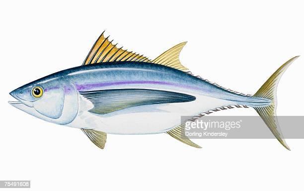 ilustraciones, imágenes clip art, dibujos animados e iconos de stock de albacore (thunnus alalunga); pez de agua salada - bonito del norte
