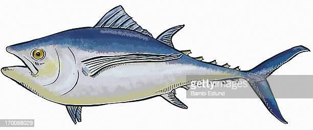 ilustraciones, imágenes clip art, dibujos animados e iconos de stock de albacore tuna - bonito del norte