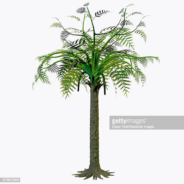 Alethopteris zeilleri tree on white background.