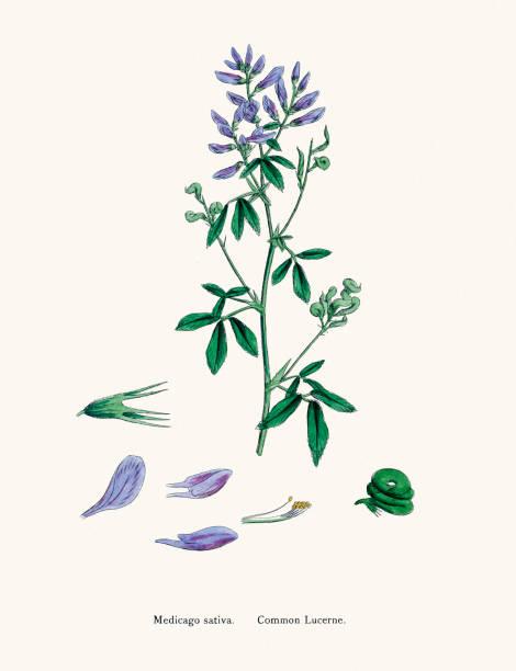 Alfalfa Lucerne Medick Plant 19th Century Illustration Wall Art