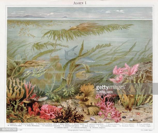 Cromolitografía de algas 1895