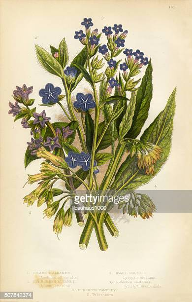 Alkanet, Bugloss, Borage, Comfrey, Victorian Botanical Illustration