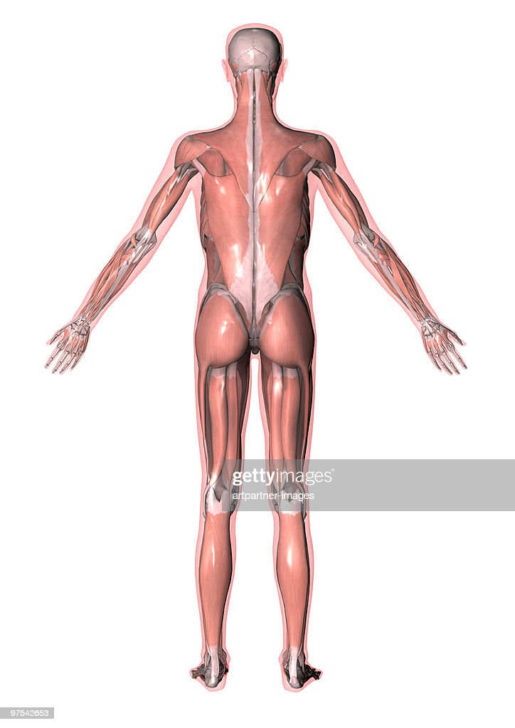 All Muscles Of The Human Body Stock Illustration | Getty Images