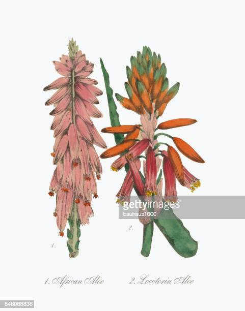 Aloès et Aloe africaine victorien Illustration botanique