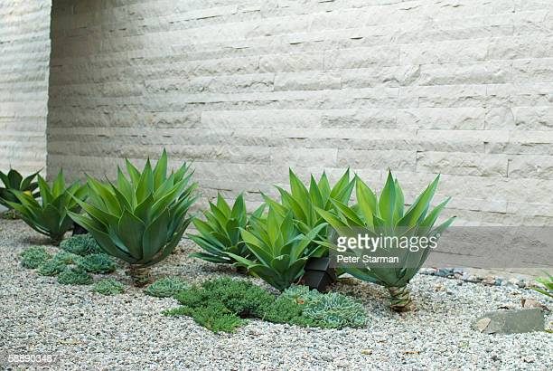 Aloe vera's along wall in modern garden